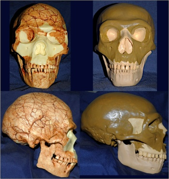 Left: the skull of the early anatomically modern human from Skhul Cave (individual V), located on Mt. Carmel, Israel, dating to ca. 100,000 BP (cast by Bone Clones). Right: cast of a composite reconstruction of a male European Neandertal skull. Photograph by Aaron Jonas Stutz CC-BY 2014.