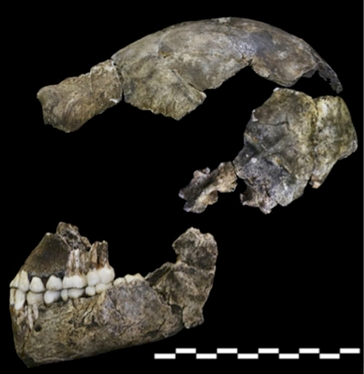 Lateral view of Dinaledi Hominin 1, the holotype individual for which the new species Homo naledi has been named (Berger et al., 2015).